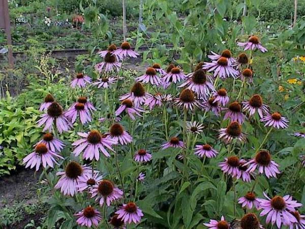 Неприхотливые многолетние цветы фото