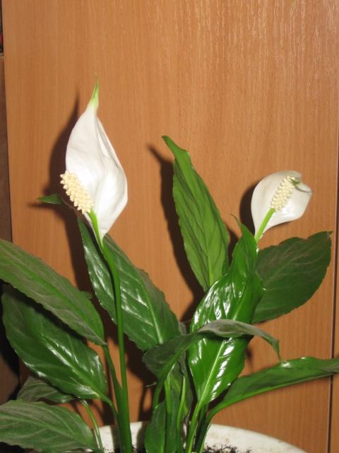 Домашний цветок для беременности