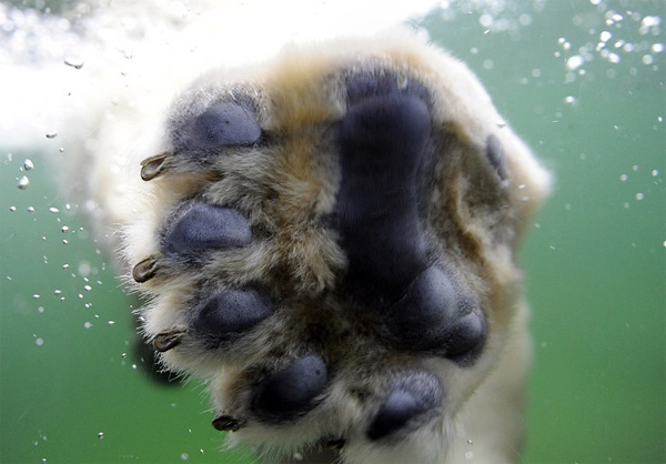 лапы белого медведя фото